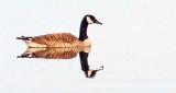 Floating Goose DSCF20009