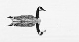 Floating Goose DSCF20009BW