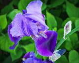 Purple Iris P1120655-7