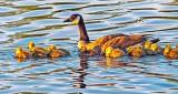 Goose & Goslings At Sunrise DSCF4189
