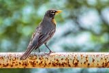 Robin On A Rusting Railing DSCF20330