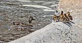 Duck & Ducklings DSCF20324