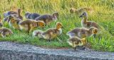 Goslings In Grass DSCF20378