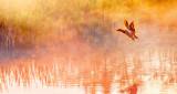 Duck Taking Flight In Sunrise Mist P1130303
