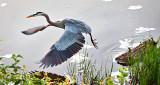 Heron Taking Flight P1130677