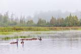 Geese & Goslings On The Swale P1140266