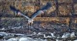 Heron Taking Flight From Under A Bridge P1140472