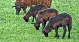 Baa Baa Brown Sheep P1140524
