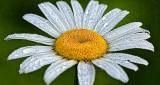 Wet Daisy P1140648-50
