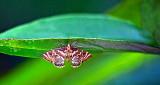 Moth Beneath A Leaf P1140711-8