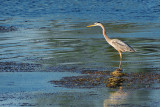 Heron In the River DSCF02093