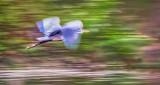Heron In Flight P1140851