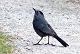 Gray Catbird P1140840