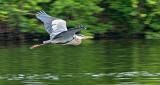 Heron In Flight P1150535