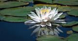 Water Lily DSCF21019