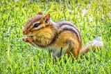 Chippie In The Grass DSCF4201