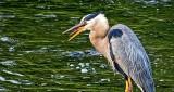 Heron Tongue DSCF4254