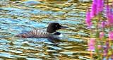 Swimming Loon DSCF4274