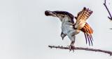 Shake Those Tail Feathers DSCF4322