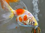 White & Orange Fish P1170049