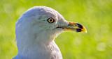 Ring-billed Gull Profile DSCF21086