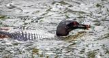 Wet Head Loon With Catch DSCF4459