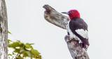 Red-headed Woodpecker DSCF21217