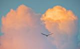 Gull & Sunset Clouds P1170714