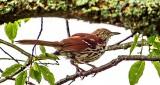 Brown Thrasher On A Branch Under a Limb DSCF21359