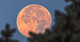 Moon Beyond Pine Tree At Sunrise DSCF4587