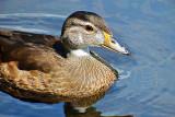 Juvenile Male Wood Duck DSCF4632