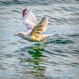 Gull Taking Flight DSCF4707