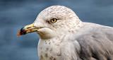 Gull Closeup DSCF4687