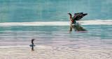 Cormorant Stretching P1180627