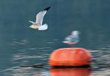 Gull Flyby P1180621