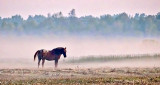 Appaloosa In Sunrise Ground Fog P1180685-6