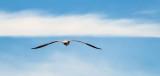 Gull In Flight_DSCF4695.jpg