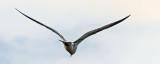 Gull In Flight_DSCF4694.jpg