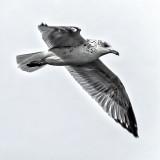 Gull In Flight_DSCF4690