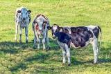 Curious Cows P1190255