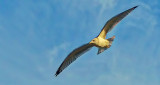 Gull In Flight P1190518