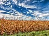 Autumn Cornfield P1190503-5
