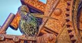 Preening Starling On A Rusty Perch DSCF4918