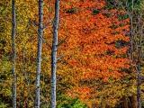 Autumn Tree P1200399-401