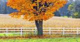 Fence & Autumn Tree DSCF5114