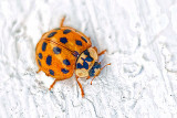 Asian Lady Beetle P1200965