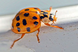Asian Lady Beetle P1200991