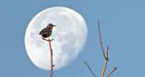 Starling & Moon  DSCF5270-1