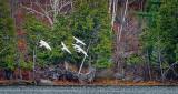 Six Swans Approaching DSCF5295
