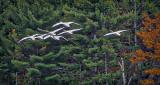 Seven Swans A Flying DSCF5293